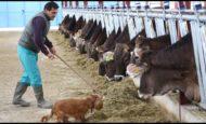Elvanlı Da Büyükbaş Sağmal İnek Çiftliğinde Çalışacak Aile Aranıyor