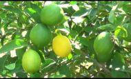 Limon Kesimi Yapacak Eleman Aranıyor